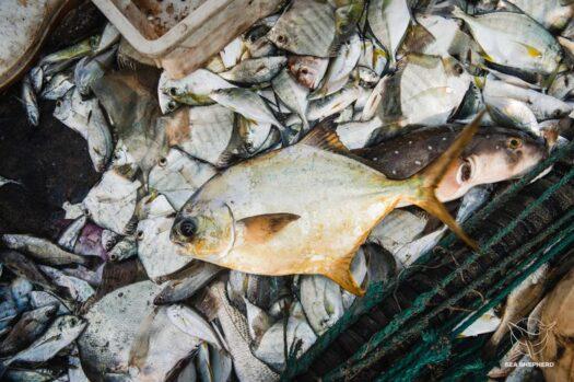 Pesca ilegal a bordo de traineira apreendida. Foto por Alice Gregoire / Sea Shepherd