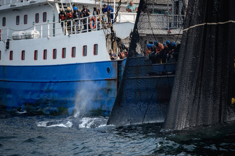Jubarte lutando contra rede de pesca de cerco.